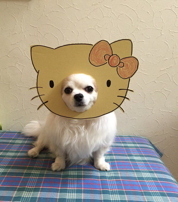 chihuahua-mametaro-hello-kitty