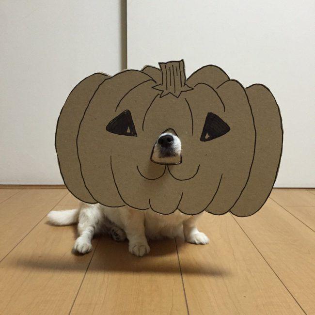 chihuahua-mametaro-pumpkin-650x650